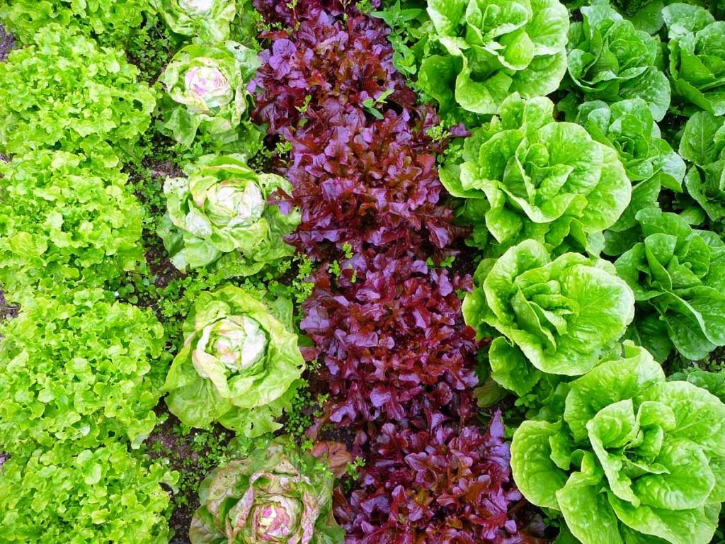 Салат радичио выращивание на даче 100